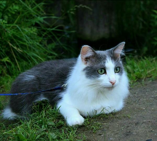 Кот на поводке.