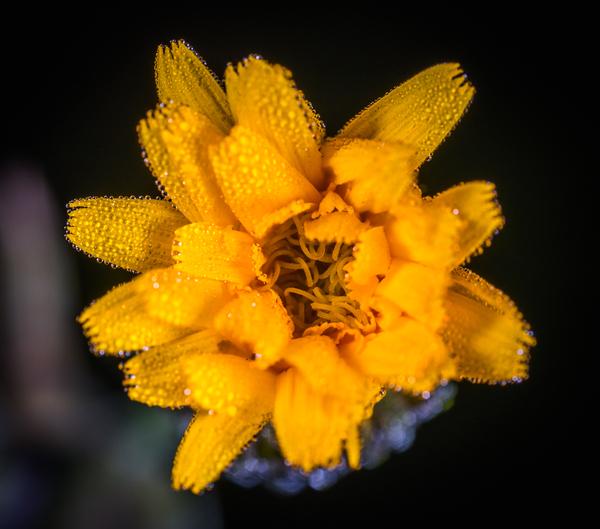 Цветок скерды кровельной Макро, Полевые цветы, Скерда кровельная, MP-E 65 mm, Цветы