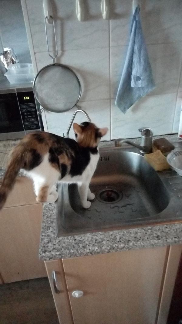 Кошка нашла дом) кот, длиннопост, трехцветная кошка