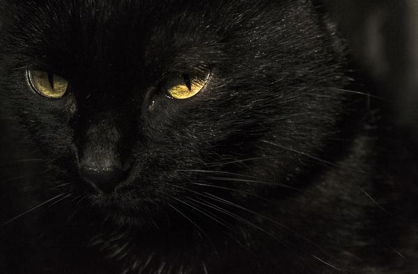 Котики кот, глаза, животные, питомец, черный кот, длиннопост