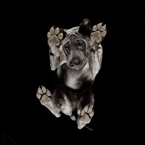 Собаки в необычном ракурсе) Собака, Портрет, Ракурс, подборка фотографий, басенджи, самоед, длиннопост