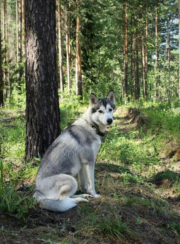Хозяйка Леса фотография, хаски, Собака, Природа