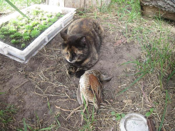 Багира. Багира, охота, куропатки, кот