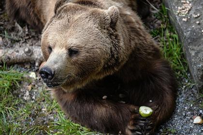 Уральский грибник отправил медведицу в нокдаун лента, новости, Сосьва, медведь