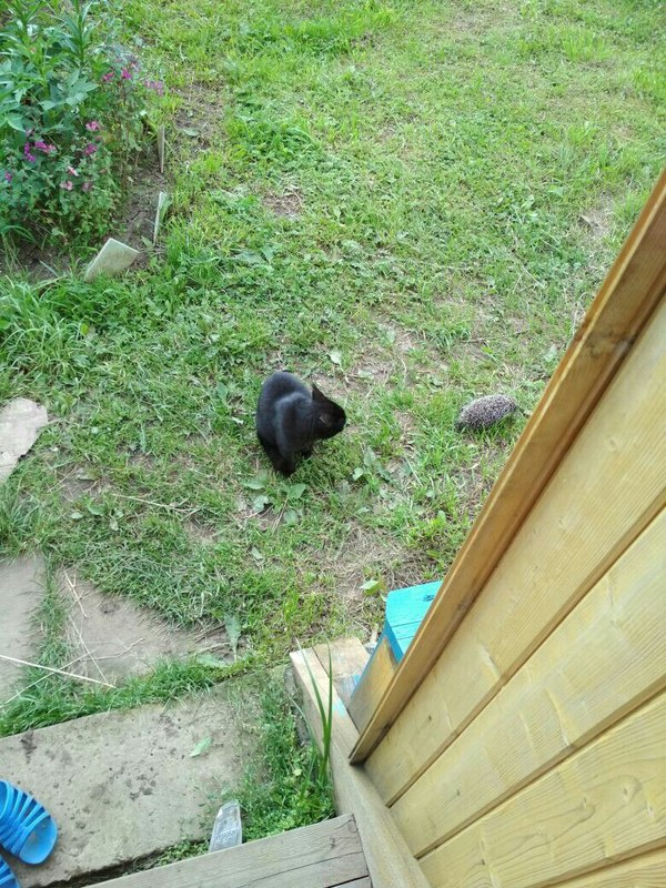 В саду выхожу с утра а тут... кот, Ёжик, встреча, фотография, кто это?