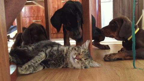 Безмятежный котэ (Serene cat) Кот, Собака, Коты и собаки вместе, Юмор, Сон, Ловушка для кота, Гифка