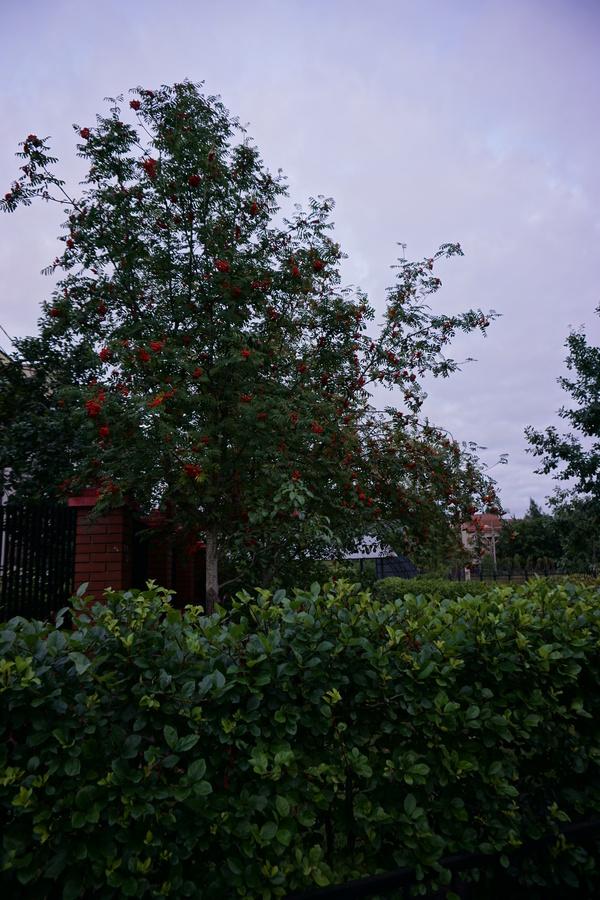 Груши на рябине Прививка деревьев, Слизень, Рябина, Груши, Яблоки, Длиннопост