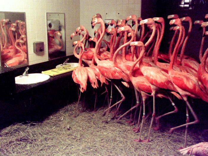 "Фламинго в укрытии из-за урагана ""Жорж"". Майами  1998 г."