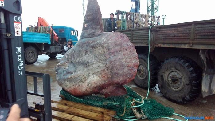 В Курильске поймали огромную рыбу-луну Итуруп, Рыба, Рыба-луна