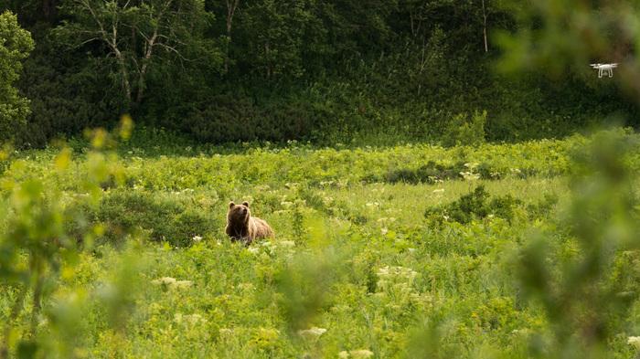 Медведь и квадрокоптер Камчатка, Толмачево озеро, Дрон, Фотография, Медведь, Путешествия