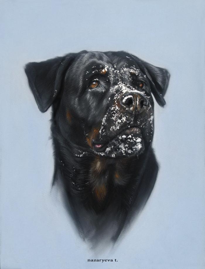 И снова о зиме.. Ротвейлер, Зима, Снежный НОС, Портрет собаки, Пастель, Собака