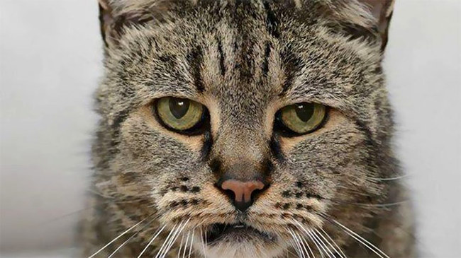 В Британии умер самый старый в мире кот Кот, Великобритания, Смерть, Самый старый кот
