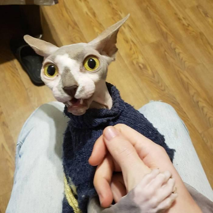 Когда сказал коту что заведёшь еще одного кота =) Кот, Сфинкс, Милота, Или нет