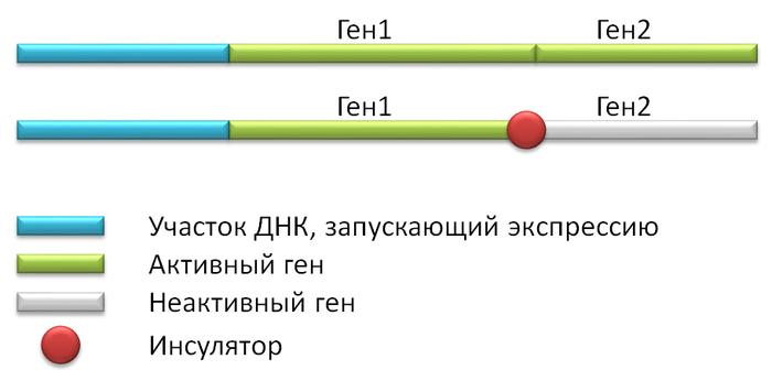 Про инсуляторы Биология, Молекулярная биология, Инсуляторы, Длиннопост