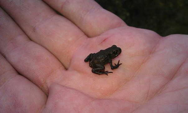 А я поймал лягушку! Добыча, Лягушки, Карелия, Лига великанов