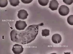 Лейкоцит ловит бактерию.