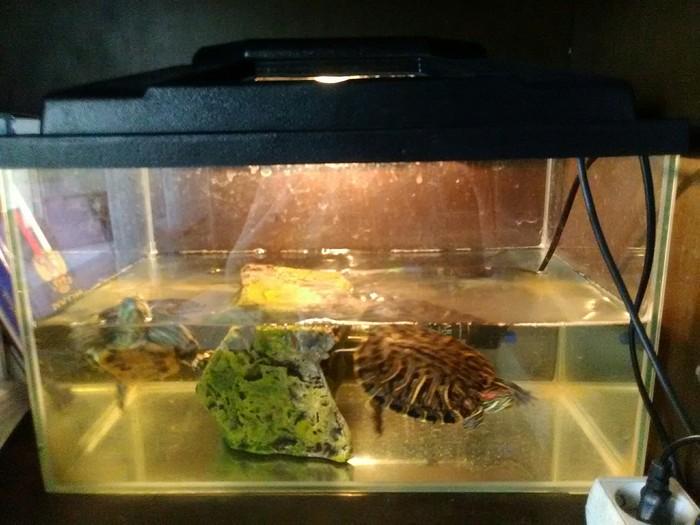 Отдам красноухих черепах в хорошие руки! Самара Самара, Красноухая черепаха, Пресмыкающиеся, В добрые руки