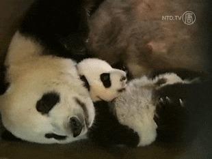 Панда летает во сне Гифка, Панда, Детеныши панды, Сон