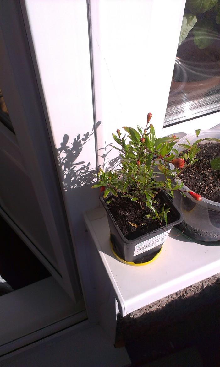 Мини гранат на подоконнике Комнатные растения, Гранат, На подоконнике, Длиннопост