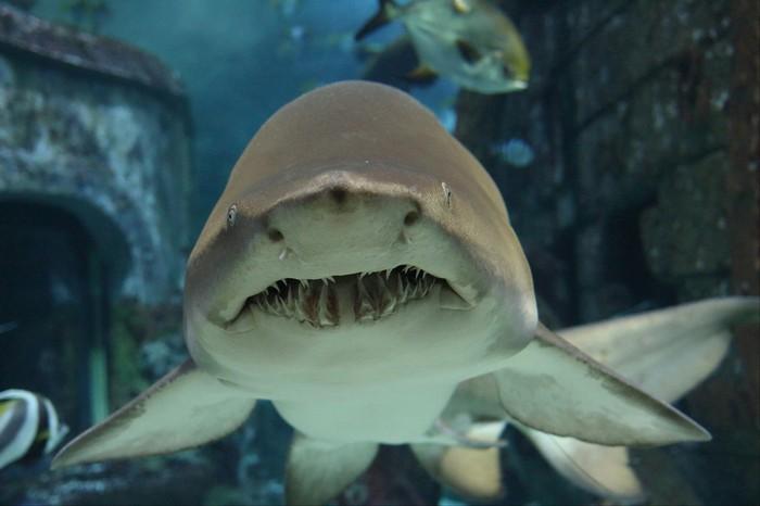 Зубастая Океанариум, Акула