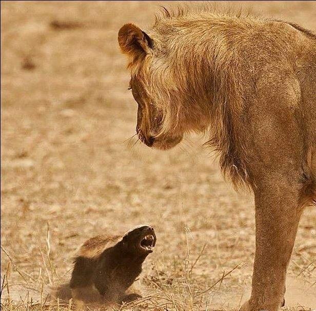 Наезд на царя зверей Лев, Храбрость, Африка