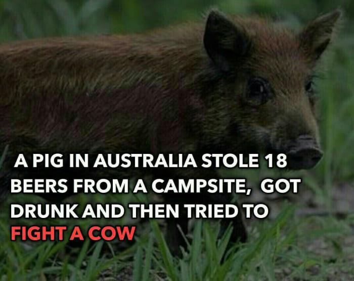 Мое тотемное животное Тотем, Пиво, Австралия
