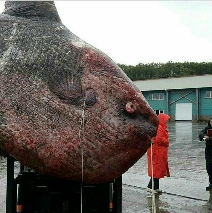 Рыба луна попалась в сети рыбаков на Камчатке Монстр, Камчатка, Удивительное, Рыба-Луна