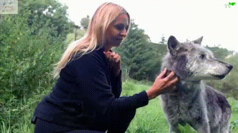 Самая старая волчица в мире, 18-летняя Madadh Гифка, Волк, Волчица, Madadh