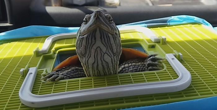Осирис. Красноухая черепаха, Черепаха