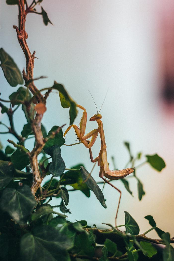 Мои гости-инсекты (летнее) Инсект, Насекомые, Богомол, Бабочка, Краеглазка лесная, Винный бражник, Мануальная оптика, Гелиос 77м-4, Длиннопост