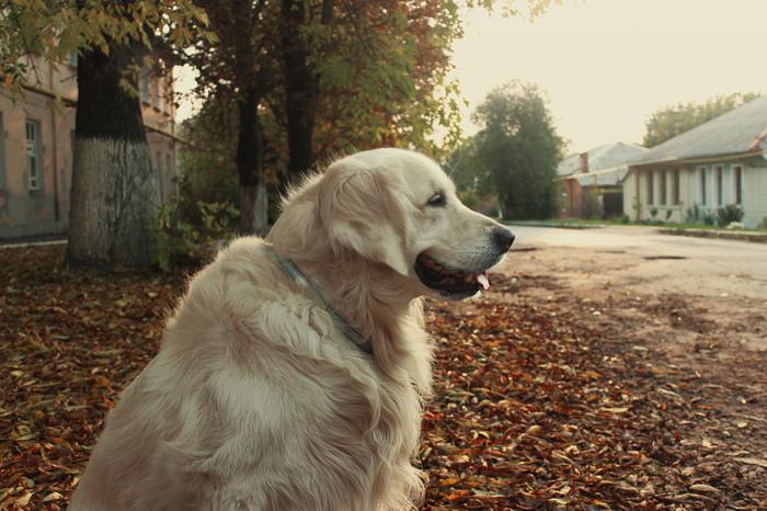 Осенний голден по имени Флеш Собака, Золотистый ретривер, Golden Retriever, Длиннопост