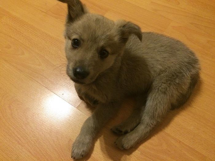 Пожалуйста, помогите найти щенку дом. Помощь животным, Щенки, Собака, Улан-Удэ, Пристройство, Помощь, В добрые руки