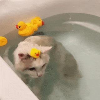 Уточка Резиновая уточка, Уточка для ванной, Кот, Гифка, Милота