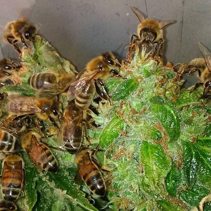 Пчелы, которые делают мед из каннабиса мёд, пчелы, Трипофобия, марихуана, Медицинский каннабис, длиннопост