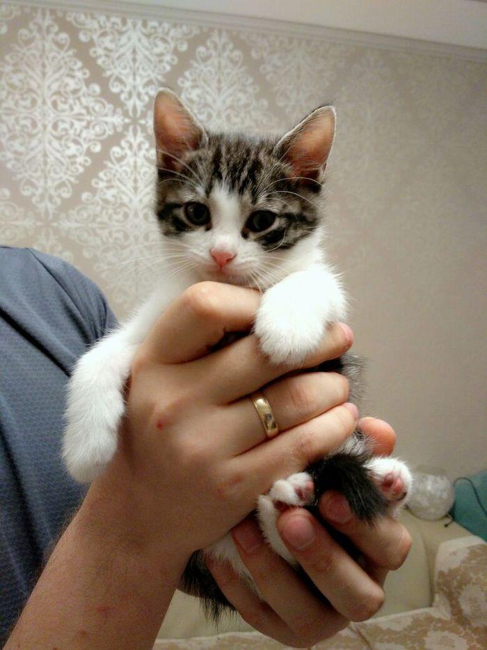 Котята ищут хозяев В добрые руки, Санкт-Петербург, Длиннопост, Кот, Помощь животным