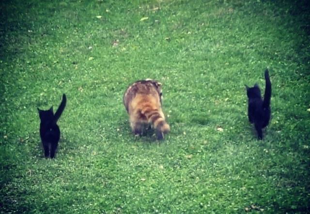 Слепой енот привел двух котят к человеку и этим спас малышам жизни Кот, Слепой енот, Два котенка, Тандем, Длиннопост, Видео, Енот