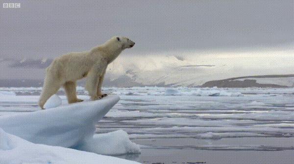 Красота и шикарность дикой природы. Гифка, Белый медведь, Природа, BBC