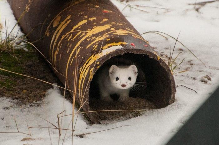 Горностай в поисках благоустроенного жилья Горностай, Коми, Зима близко