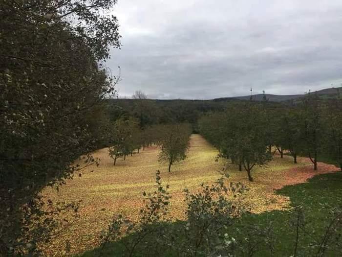 Яблочный сад после урагана Офелия в Ирландии. Ураган, Офелия, Сад, Яблоки, Ирландия, Фотография