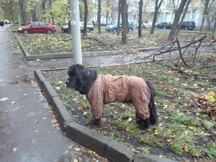 Потерялась собака? Помощь животным, Москва, Ньюфаундленд, Собака