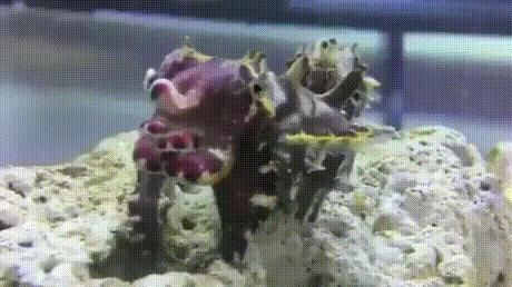 Вот это камуфляж! Каракатица, Подводный мир, Удивительное, Гифка