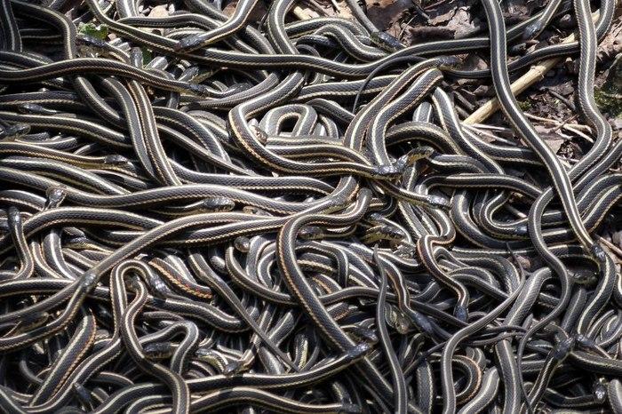 Огромное спагетти из змей. Интересное, Познавательно, Копипаста, Змея, Спаривание, Оргия, Биология, Канада, Видео, Длиннопост