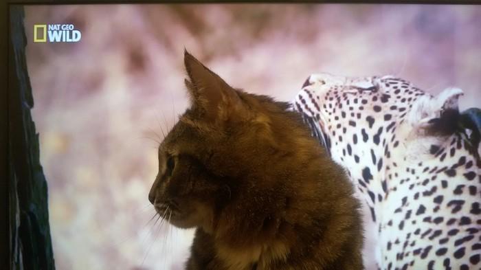 """Ма, смотри - я тоже леопард!"" Кот, Котомафия, Фотография, Морс, Зевота, Язык"