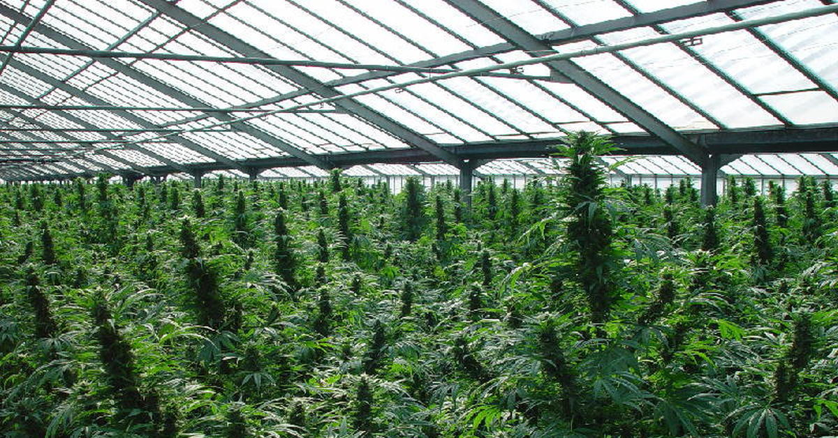 Как вырастить качественною марихуану конопли в россии