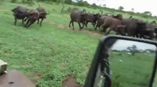 Царь соизволил выйти на охоту гифка, охота, лев, буйвол