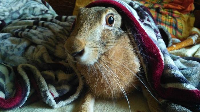 Заяц по-домашнему Заяц, Гифка, Кот, Длиннопост