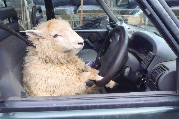 Всегда смотри по сторонам Вождение, Бараны, Пешеход, Безопасность, Америка
