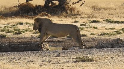 Так, главное не намочить лапы лев, лужа, вода, гифка