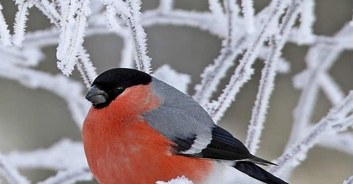 воспаление снегири птицы картинки с названиями фадеева любит своего