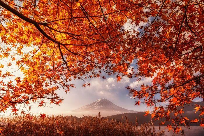 Фудзи в объятиях осени Фудзияма, Кленовый лист, Природа, Фотография, The National Geographic